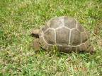 Various tortoises. Babies and juvenile Aldabrans 2, 6, ....