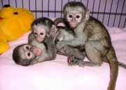 MJD Pairs Capuchin pygmy marmoset available 07031956739